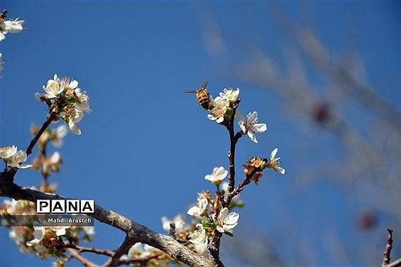شکوفه زدن درختان در خوسف