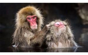 آبتنی میمونهای ژاپنی؛ عکس روز نشنالجئوگرافیک