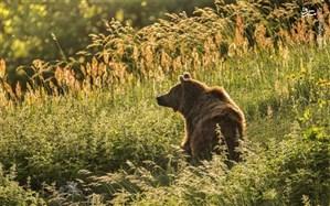 مرگ آرام اَشی خرس زخمی مازندران در کلینیک حیات وحش پردیسان