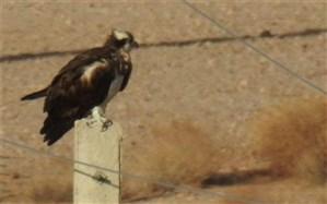 رها سازی یک بهله عقاب طلایی در منطقه حفاظت شده قمصر وبرزک