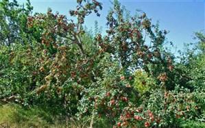 تولید ۴۱۶ هکتار انواع محصولات سردرختی در استان اردبیل