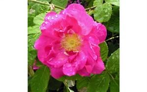 روند رو به توسعه تولید گل محمدی در نیشابور