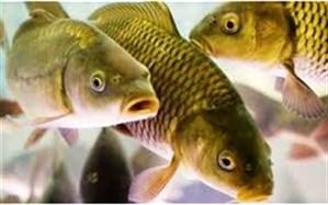 مدیرکل دامپزشکی گیلان اعلام کرد: افزایش صادرات ماهیان پرورشی گیلان به عراق