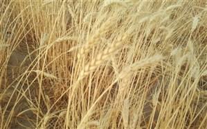 برداشت گندم در مزارع بیجار آغاز شد