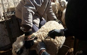 پایان طرح واکسیناسیون دام ها علیه تب برفکی