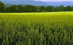 کشت گندم در سیستان و بلوچستان ۲۰۰ درصد افزایش یافت