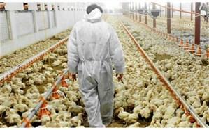 فعالیت ۷۰۰ واحد مرغداری در خراسانجنوبی