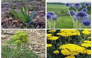 افزایش کشت گیاهان دارویی در خوزستان