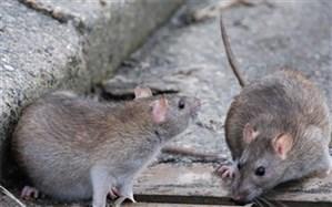 کانونها و محورهای طغیان موش شناسایی شوند