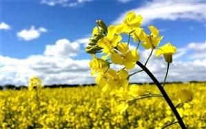 بیش از ۵۰ درصد دانههای روغنی کشور در اردبیل تولید میشود