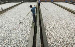 رها سازی 24 هزار بچه ماهی گرمابی در استخرهای پرورش ماهی زابل
