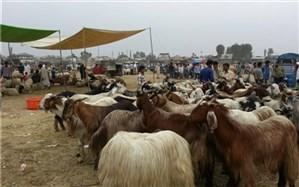 واردات دام زنده به سیستان و بلوچستان کاهش یافته است