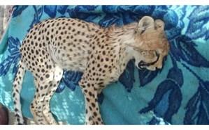 مرگ یوزپلنگ جوان در اثر تصادف