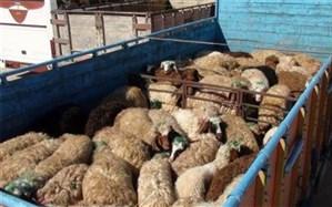 توقیف دو کامیون حامل 125 راس گوسفند قاچاق در زاهدان