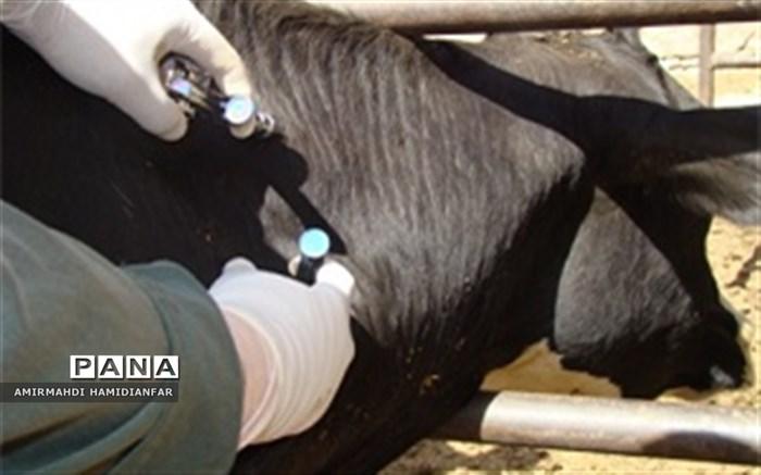 عملیات تست بیش از هزار و ۲۰۰ راس گاو علیه بیماری سل در قاین
