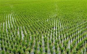 کاشت برنج مقصر دیگر گرمایش زمین!