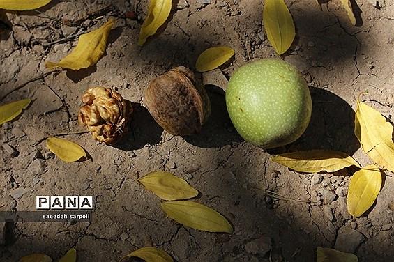 برداشت گردو و عناب در شهرستان بیرجند