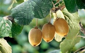 ممنوعیت صادرات کیوی لغو شد