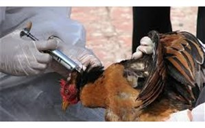 مدیرکل دامپزشکی آذربایجان شرقی: آذربایجان شرقی عاری از بیماری آنفلوآنزای پرندگان است