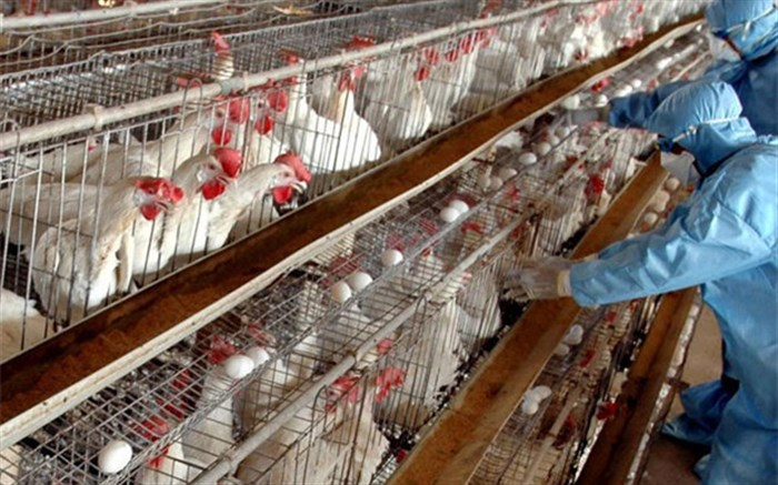 آنفلوانزای فوق حاد پرندگان