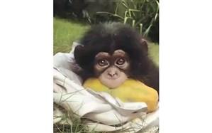 بدون شرح؛ «بچه میمون»