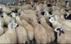 41 رأس دام قاچاق فاقد مدارک دامپزشکی در تایباد کشف شد