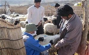 واکسیناسیون بیش از ۵۰۰ هزار دام علیه بیماری طاعون در آذربایجان غربی