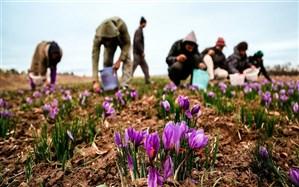 200 کیلوگرم زعفران از مزارع بوکان برداشت می شود