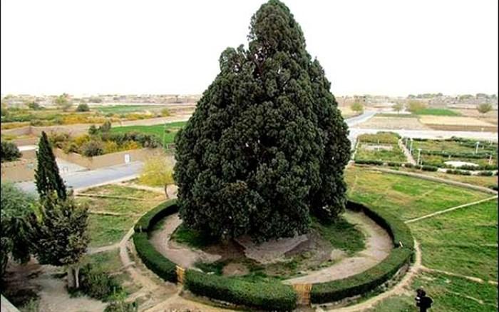 """درختی در ابرکوه که """"کوروش"""" را به خود دیده"""