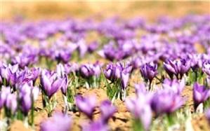 اشتغال 500 هزار نفر در روز به طور مستقیم و غیر مستقیم طی فصل برداشت زعفران