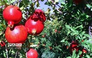 برداشت انار از باغات شهرستان اردستان