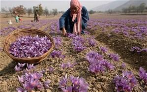 پیش بینی برداشت 12 تن زعفران خشک در سرایان