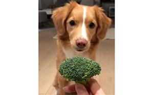 سعی و تلاش جالب یک سگ برای رسیدن به «کلم بروکلی»