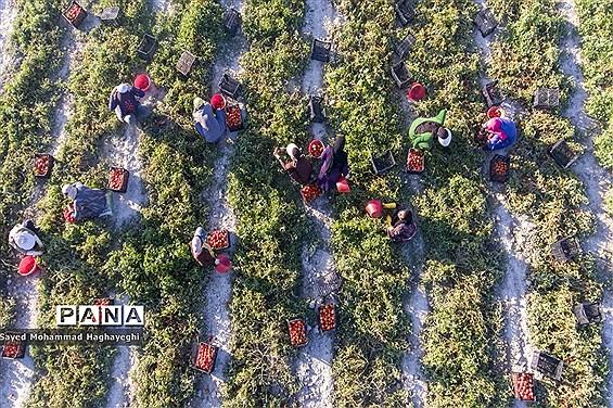 برداشت گوجه در جنوب فارس