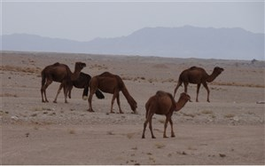 تولید شیر خشک شتر در خراسان جنوبی