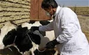 واکسیناسیون رایگان بیش از ۹۰ درصد جمعیت دام سنگین در فردوس