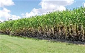 معاون وزیر جهاد کشاورزی خبر داد: خودکفایی در تولید شکر