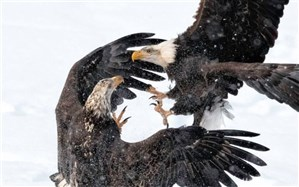 نبرد عقابها در عکس روز نشنال جئوگرافیک