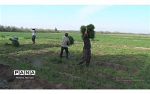 کشاورزان حمیدیه برای برداشت سبزی دست بکار شدند