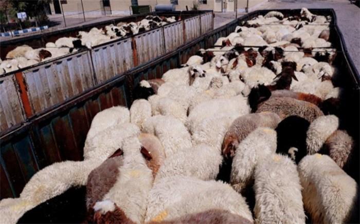 قاچاق گوسفند