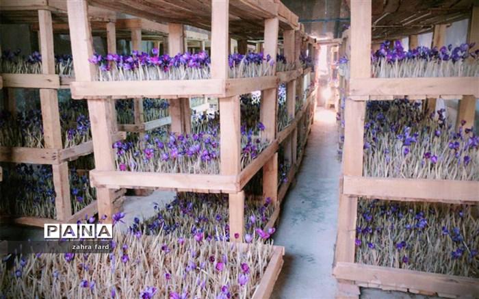 احداث گلخانه کوچک مقیاس زعفران، برای نخستین بار به روش هوا کشت