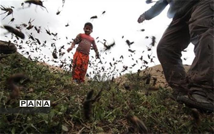 هجوم ملخ ها به مزارع کشاورزی