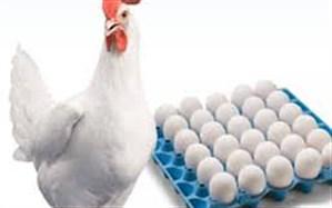 65 درصد تخم مرغ مصرفی آذربایجان غربی وارداتی است