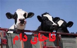 24 راس گوساله قاچاق در آزاد راه تهران - کرج کشف شد