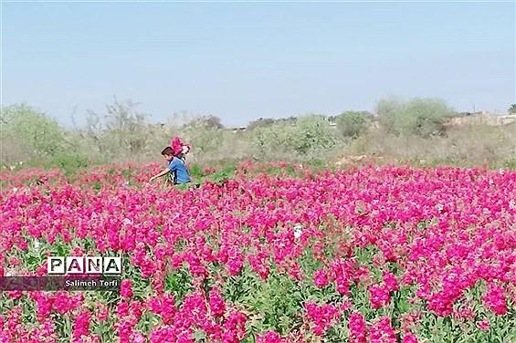 برداشت گل شببو و همیشهبهار در روستای شبیشه شهرستان حمیدیه