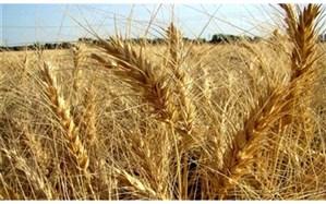 آغاز خرید گندم از کشاورزان و حمل آن به سیلوها در اردبیل