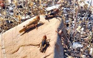 ملخ صحرایی هنوز به سطح مزارع کشاورزی سیستان و بلوچستان نرسیده است