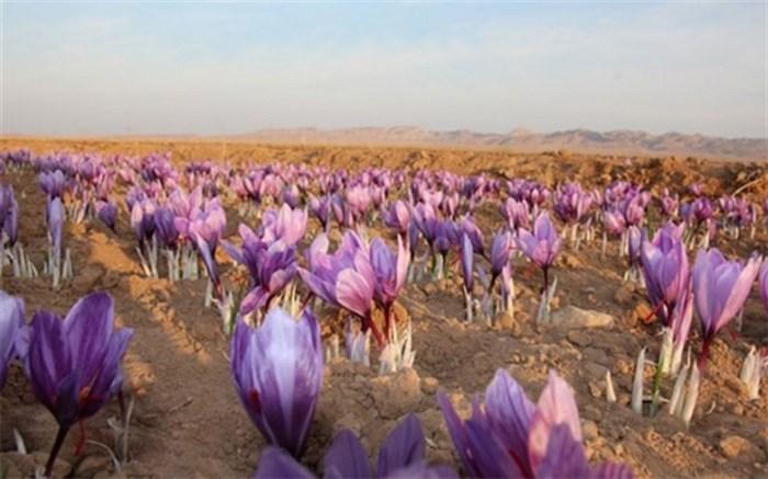 کاشت زعفران در شهرری