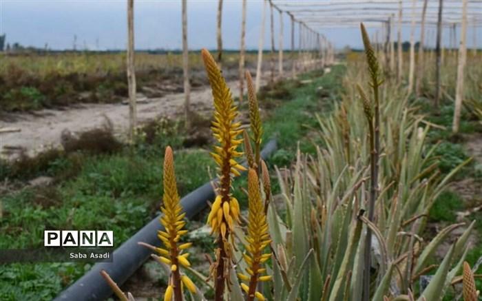 بهرهبرداری از مزرعه کاشت گیاه دارویی آلوئهورا در شهرستان مُهر