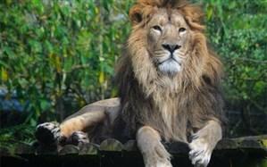 شیر ایرانی پس از 80 سال به ایران بازگشت